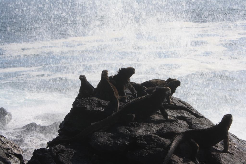 Игуана. Галапагосы